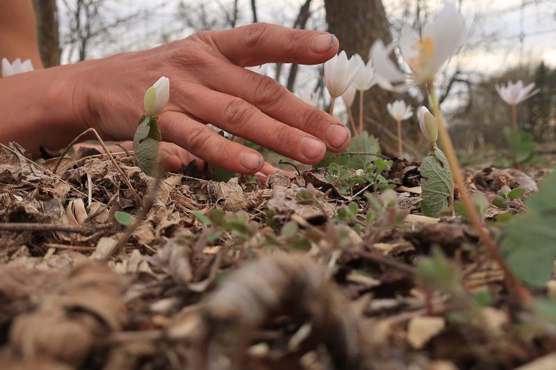 Hands and Bloodroot ( Sanguinaria canadensis ), April 11, 2019