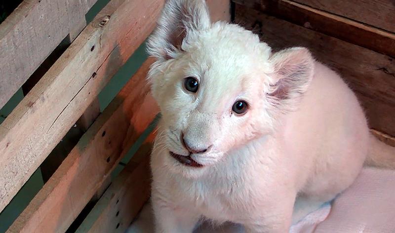 Primer león blanco nacido en cautiverio en México, un %22cachorro milagro%22 .jpg