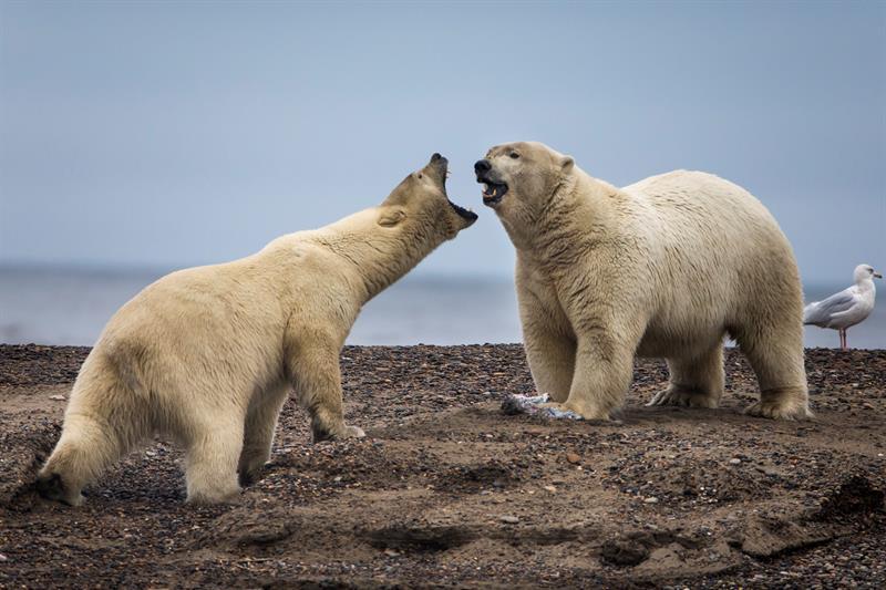 Los osos polares tienen problemas para cazar focas por culpa del cambio climático .jpg