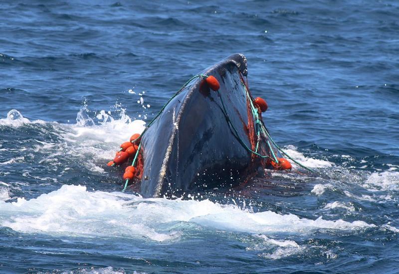 Buzos mexicanos salvan ballena al retirarle malla de su cabeza .jpg