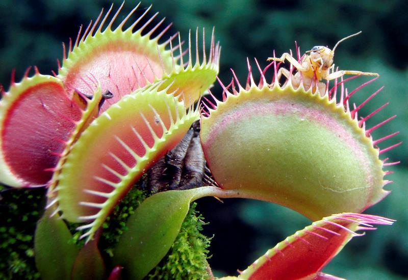 Plantas carnívoras, rarezas llenas de mitos que viven bajo amenaza .jpg