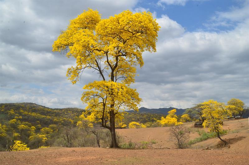 Un bosque se viste %22de oro%22 con las primeras lluvias de invierno en Ecuador 2.jpg