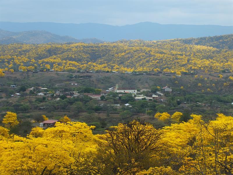 Un bosque se viste %22de oro%22 con las primeras lluvias de invierno en Ecuador 1.jpg