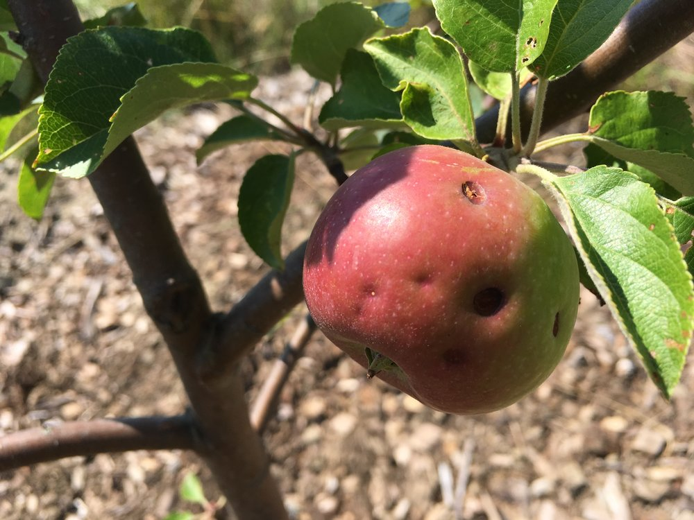News — The Maine Heritage Orchard