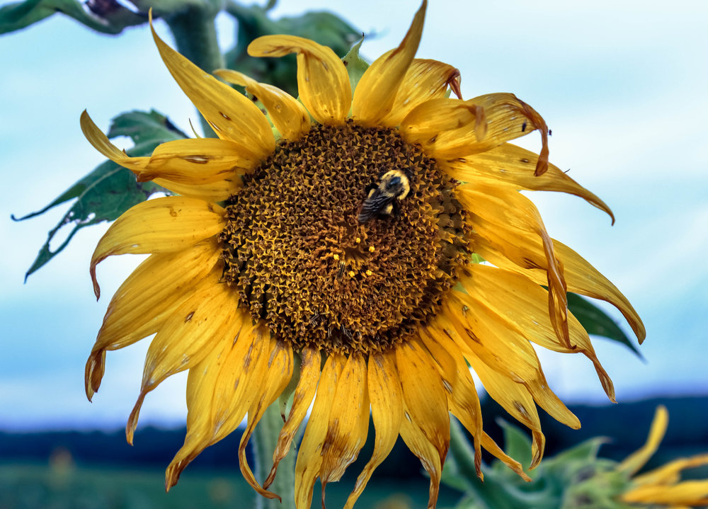 Bee in a Sunflower, Seven Island State Park, Tennessee