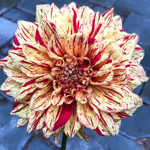A magical, colorful dahlia of red and pale yellow.