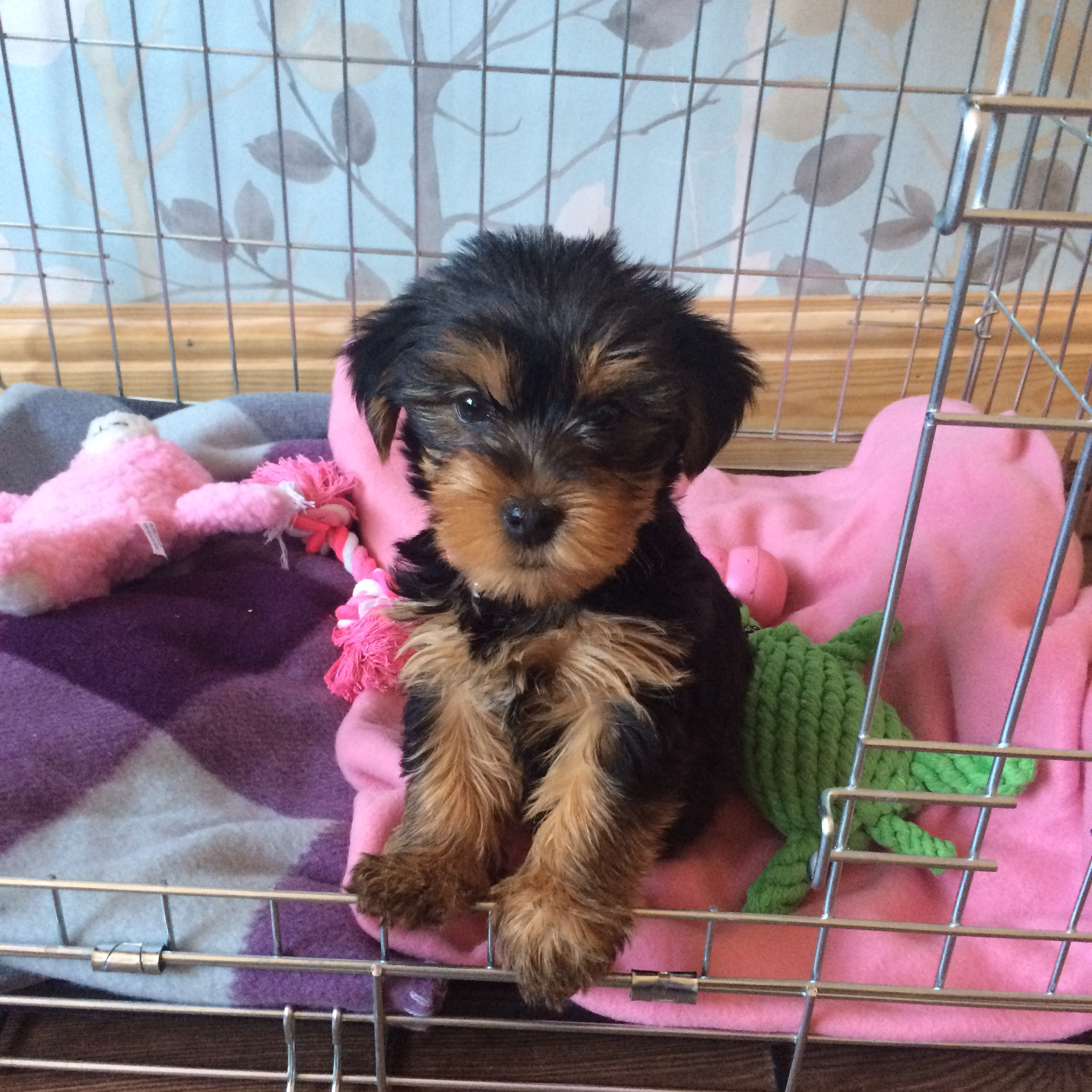 My best friend - my Yorkshire Terrier, Bonnie. Pinafores and Peonies Blog