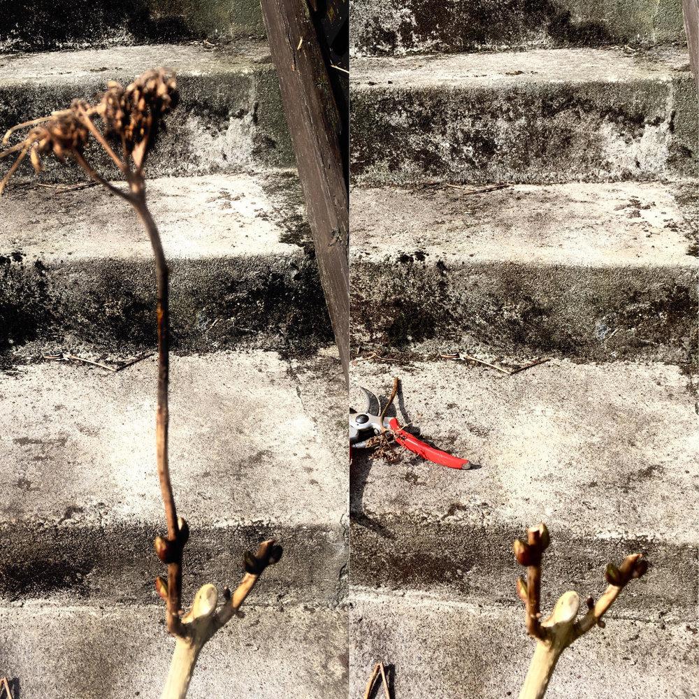 Før (tv) og efter (th). Almindelig hortensia skæres tilbage til lige over den første knop.