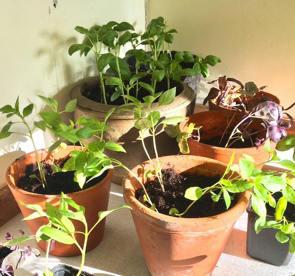 Du skal ikke måle, hvor grønne fingre du har ud fra din succes med at passe basilikum fra grønthandleren. Planterne er drevet frem ved alle mulige tricks med lys, vand og varme, som vi dødelige ikke kan gøre efter. Skil dem ad og pot dem om, så har planterne en chance.