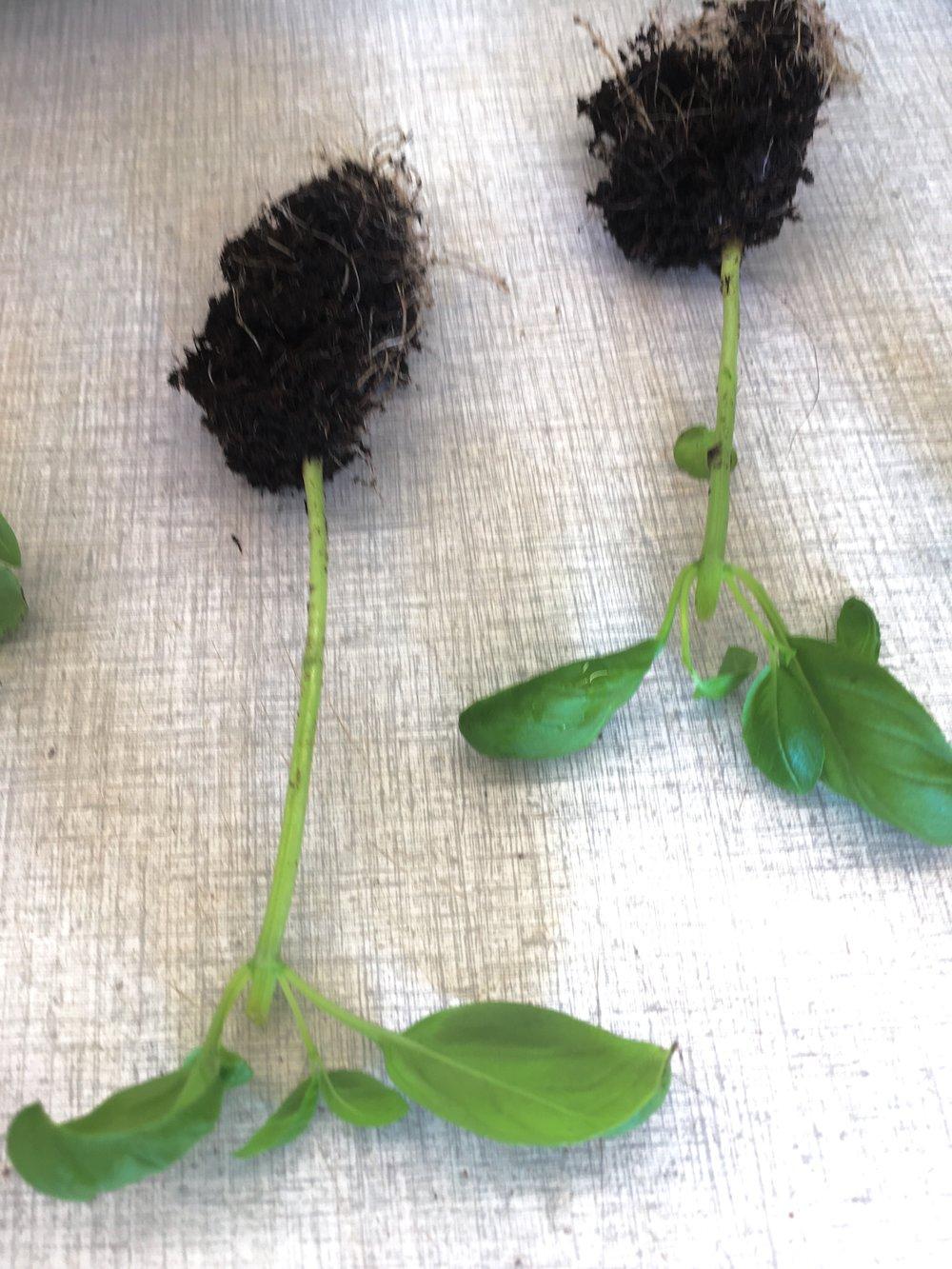 Hiv forsigtigt de enkelte planter fra hinanden ved at holde i stænglen. Plant 5-6 planter i en ny potte med krukkejord.