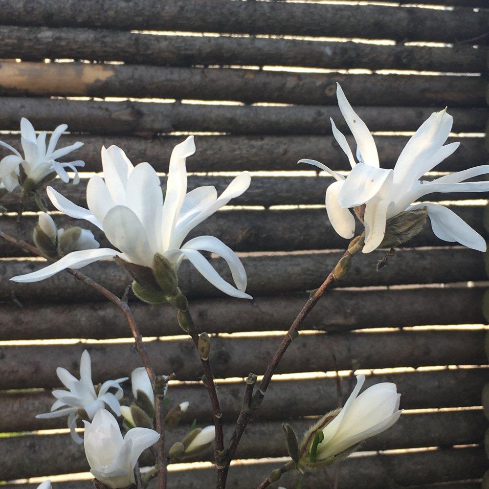 Ok. Hvis du absolut må have en magnolie, så køb en stjernemagnolie. De bliver ikke så store og kan agere højde i et blomsterbed. Jeg har faktisk også en af dem. Også deres lokkesang fik mig.