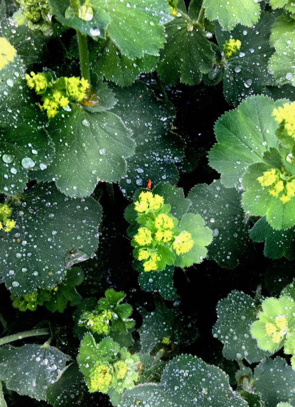 Løvefod er en virkelig fin staude, som passer til alting, er nem at have med at gøre og er god i buketter. Den er ekstra smuk, når det lige har regnet og dråberne bliver liggende på bladene. Klip dine løvefod ned, inden du tager på sommerferie, hvis det er lidt hen i juli (og vand godt). Så skyder planten igen og ser frisk ud i efteråret. Måske får den endda en gang blomster mere.