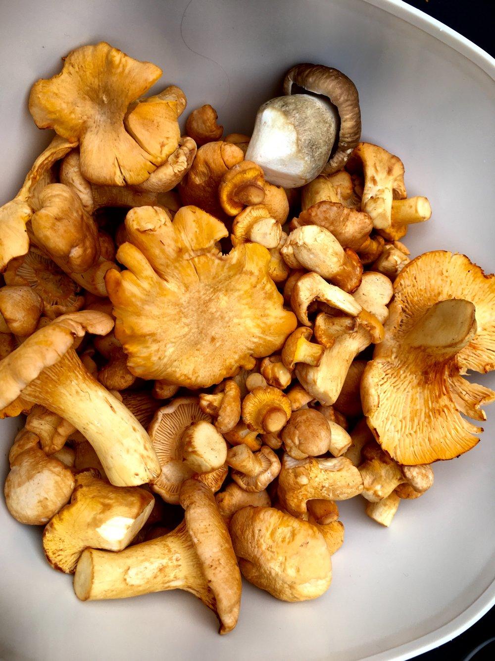 Det her er jo meningen med det hele. Friske svampe lige til at spise. Østershatte har jeg af gode grunde ikke endnu. De her kantareller plukkede jeg sidste år, og de var en af de gode ting ved den meget våde sommer.
