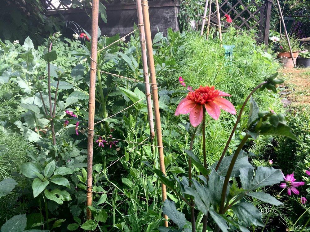 Stolte kavalerer, solsikker, kornblomster, voksurt, georginer og ærteblomster snart i fuldt flor.Georginer har det med at kappes om de fjollede navne. Den her hedder 'Totally Tangerine'.