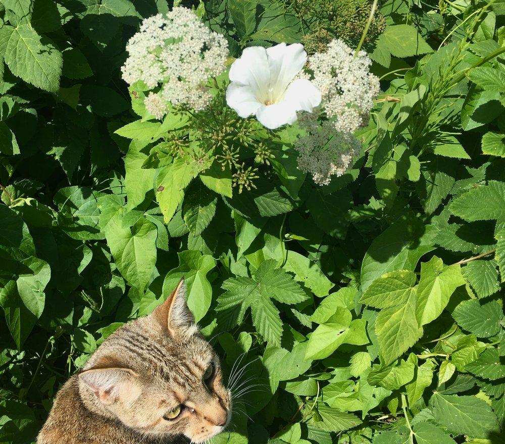 Når snerlen blomstrer, det er nu!Hverken skvalderkål eller snerler har problemer i tørken. Desværre. De trives overordentlig godt faktisk. Her i selskab med andre problembørn som padderokker og humle. Der er frodigt i hjørnet her, og der gemmer sig sikkert mus, små frøer og andre ting, man gerne vil fange, når man er en kat.