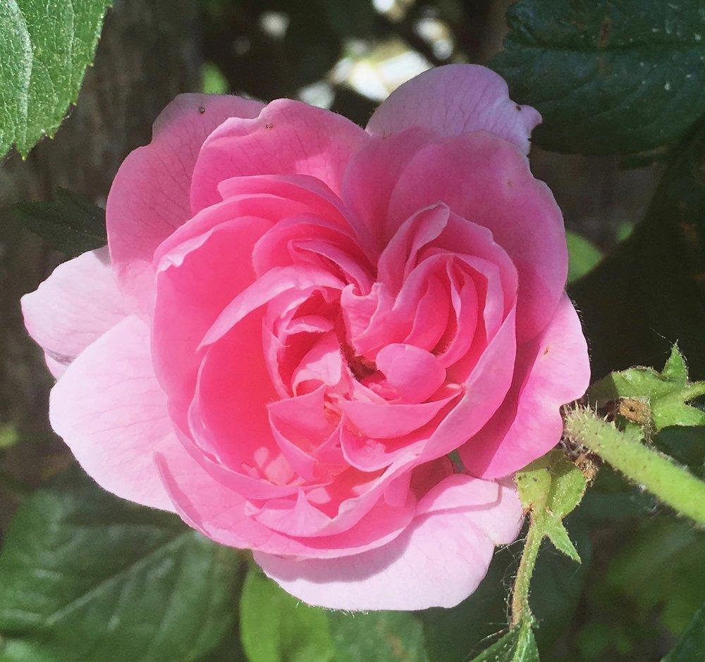 Rose - Gertrude Jekyll