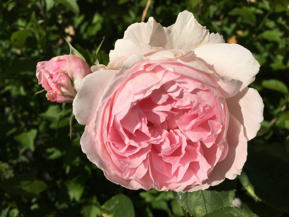 Rose - Geoff Hamilton