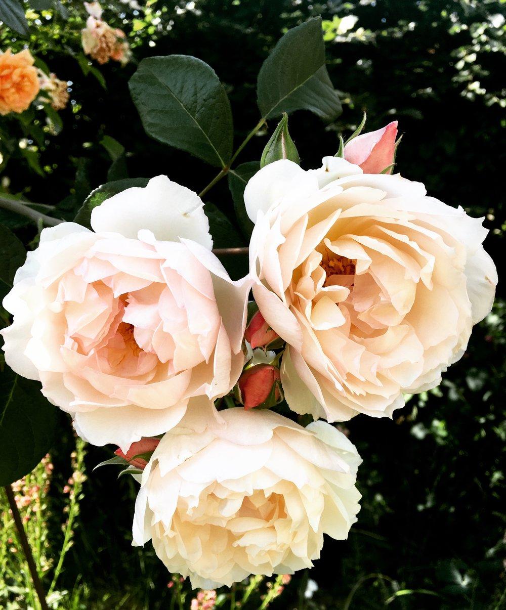 Rose - Generous Gardener