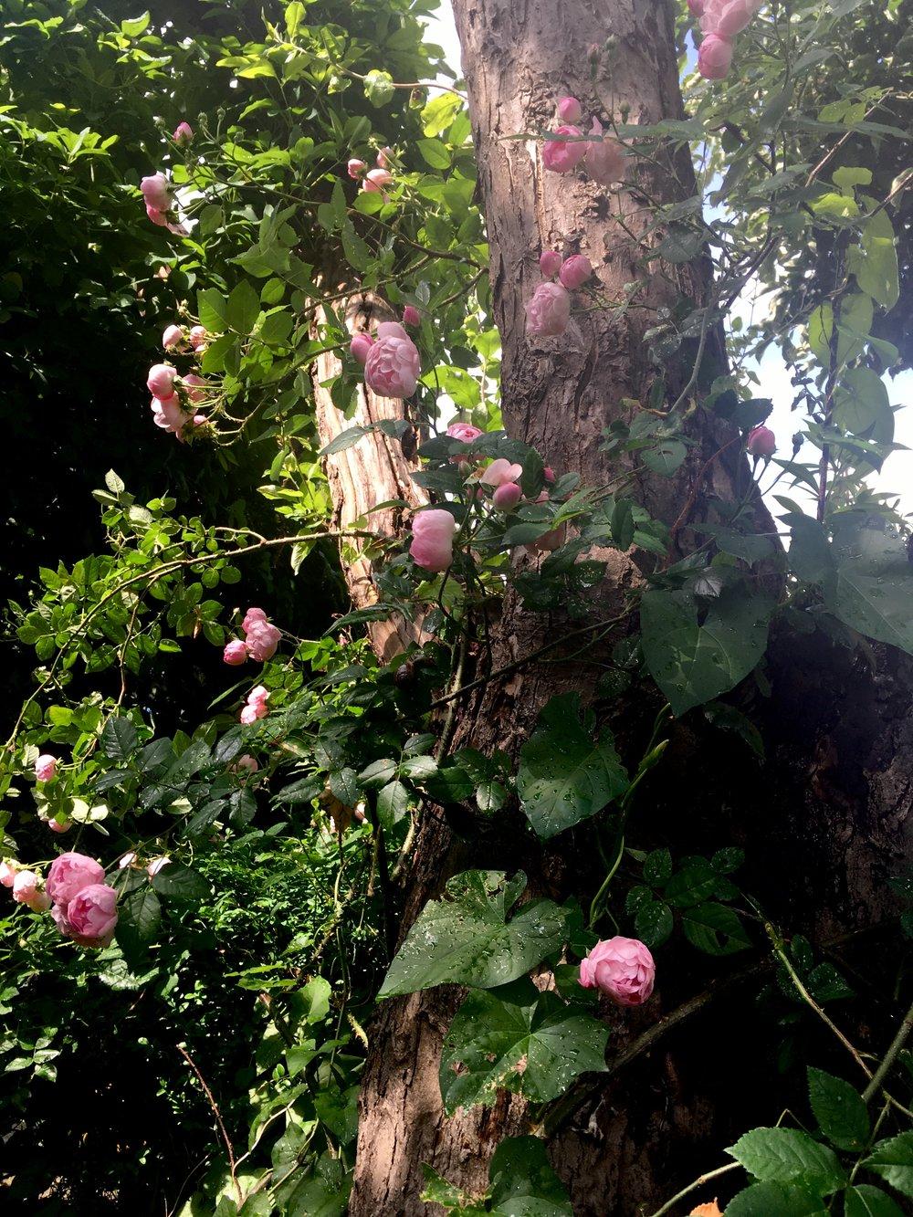 Rose - Raubritter