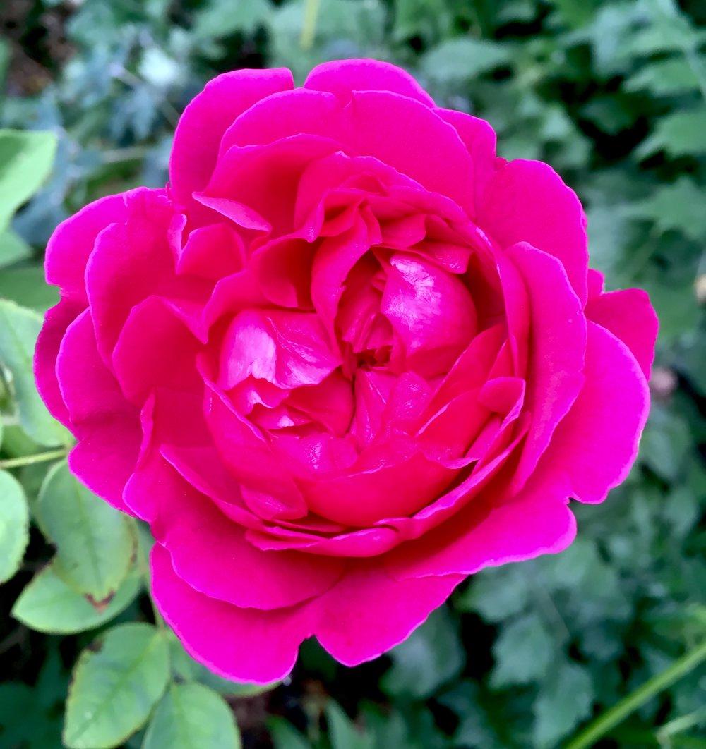 Rose - William Shakespeare