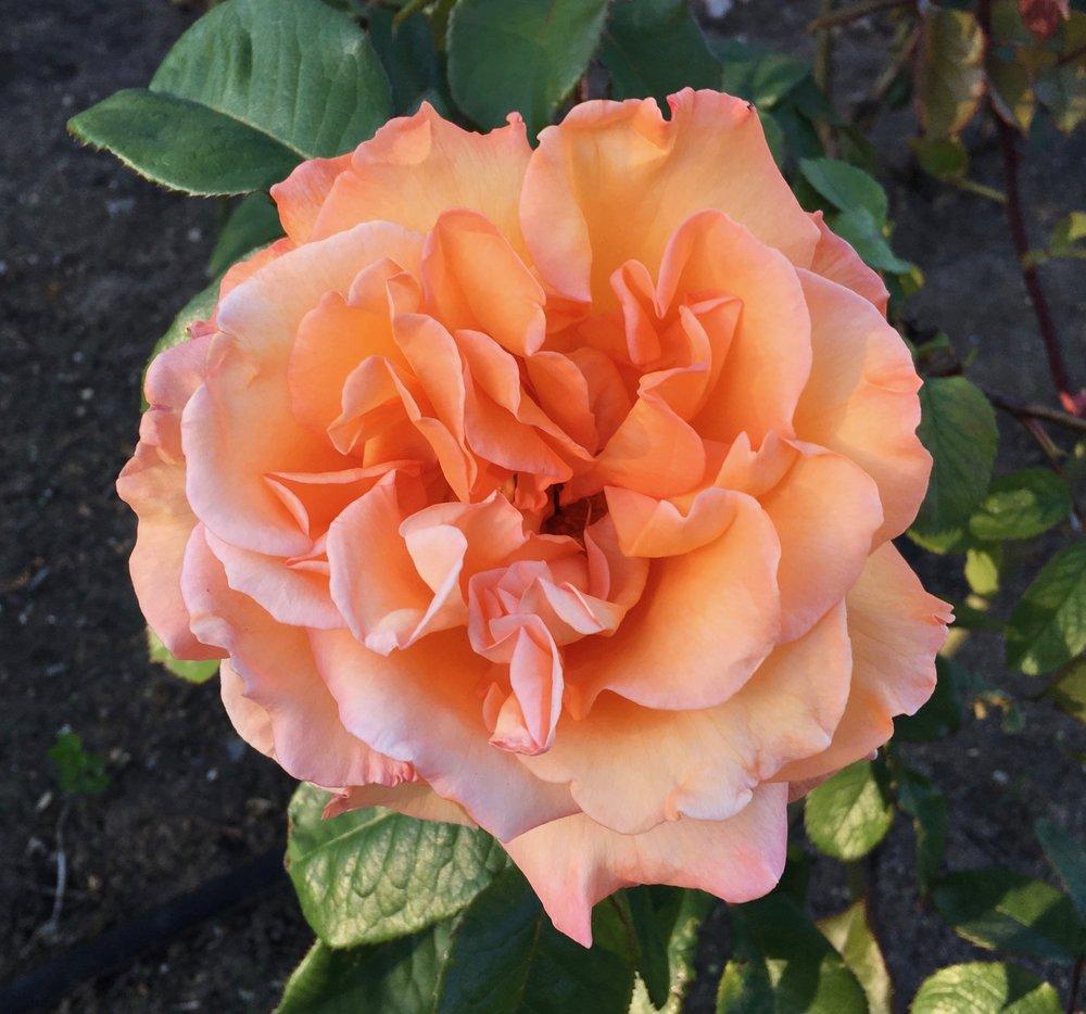 Rose - Alchemist