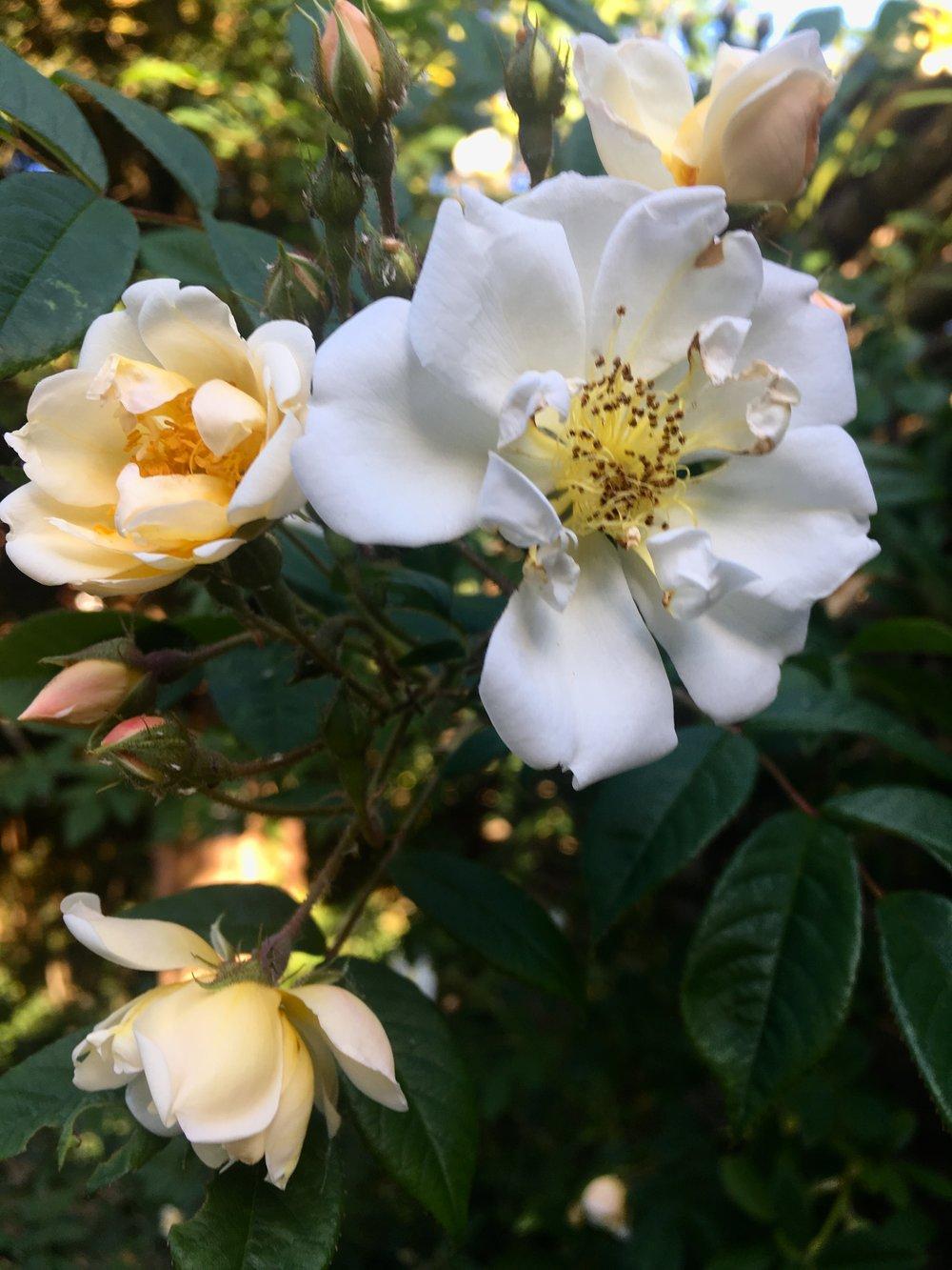 Rose - Lykkefund