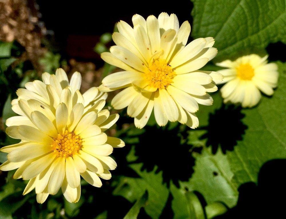 Morgenfruer er nogle meget produktive damer, som blomstrer og blomstrer og blomstrer - især hvis man nipper de afblomstrede hoveder af. Den her lyse slags er særlig fin, synes jeg, og den hedder 'Snow Princess'.