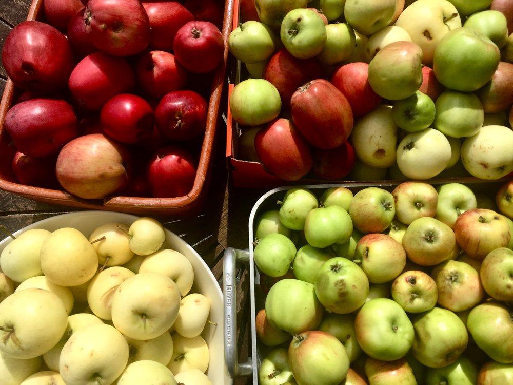 Tre slags æbler. De røde er skovfogedæbler. De andre kender jeg ikke navnet på. De gule er gode at spise nu. De grønne med røde kinder bliver først modne lidt senere, men træet tynder selv ud i frugterne, nu hvor jeg ikke har gjort det den tjeneste.De er gode til æblejuice.