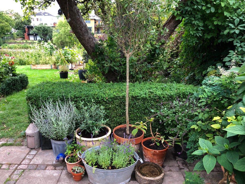 Bagest til venstre står en russisk salvie, eller perovskia 'Little Spire'. Ved siden af den en plante med grå blade, som endnu ikke ser ud af meget, men bliver en blåskæg, en busk på over en meter med blå blomster, forhåbentlig her i efteråret. Så er der oliventræet, og så en purpurvinge (Tibouchina urvillea), der har fulgt mig flere år, som plejer at have de smukkest blå-lilla blomster lige nu, men som ikke rigtig er blevet til så meget i år. Forrest til venstre står en staudeensian købt på et plantemarked, og i den helt lille krukke er der husløg sempevivum arachnoideum (de hedder sådan fordi der er noget, der minder om spindelvæv i midten af hvert lille løg). I vaskekummen vokser lavendel og vild gulerod.