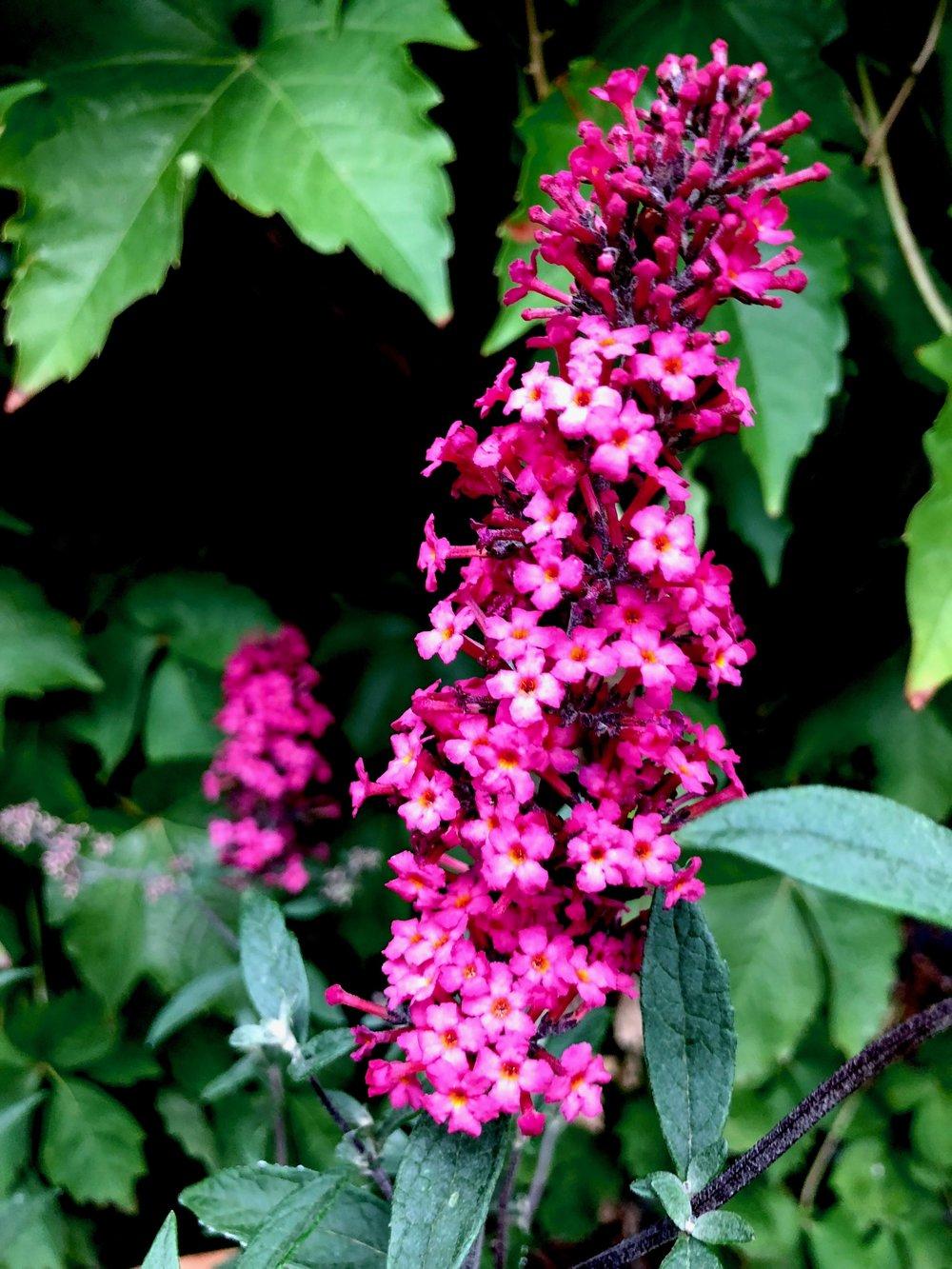 Det er godt med planter, der fylder lidt i krukkerne. Jeg har ikke tidligere haft sommerfuglebusk i krukke, men jeg har læst mig til, at det burde gå fint. De fryser nok tilbage til venter og skal klippes ned til foråret - ligesom busken i haven i øvrigt - men næste år vil den skyde fint. Husk i øvrigt at klippe visne blomster af din sommerfuglebusk, så vil den blomstre længere.
