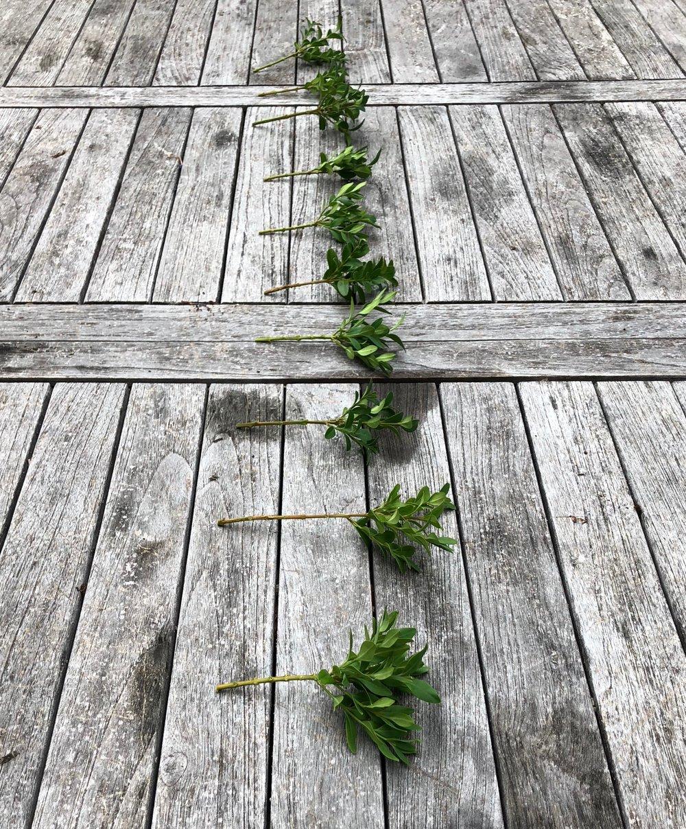 Så stripper jeg de nederste blade af, og klipper toppen lidt til, så de små rødder - når de vokser frem - ikke skal holde liv i for mange blade.