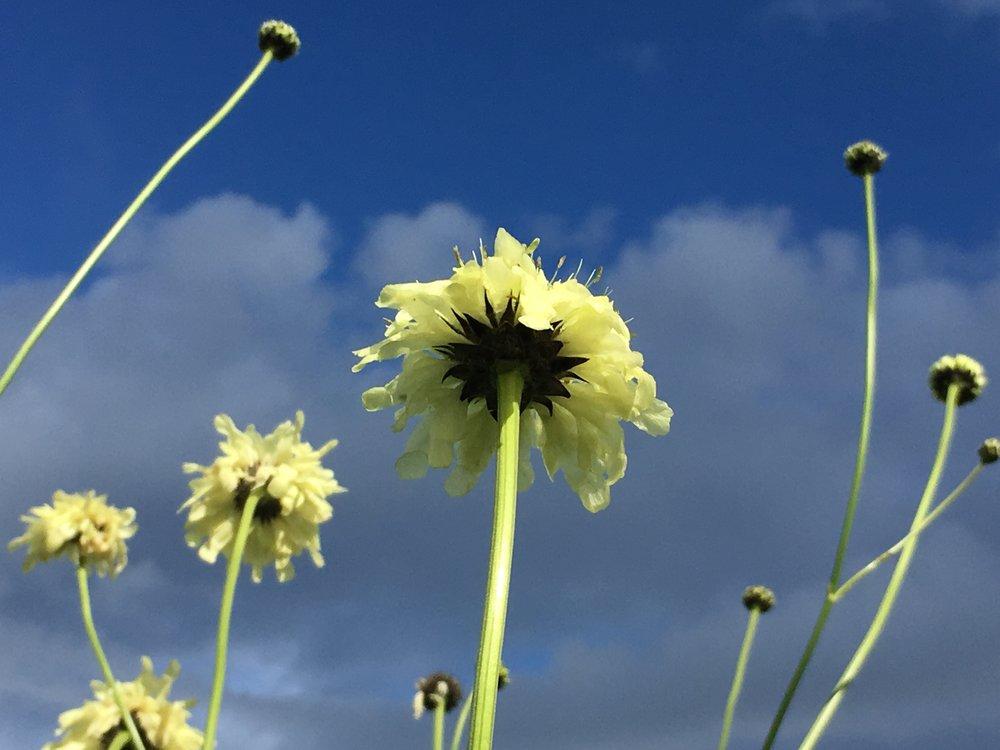Cephalaria gigantea kæmpeskælhoved