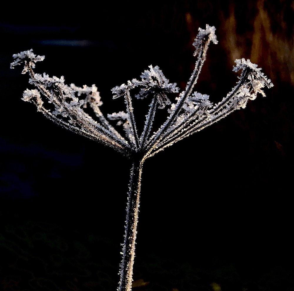 Frøstand af bronzefennikel fotograferet en tidlig vintermorgen sidste år. Finere bliver det ikke.