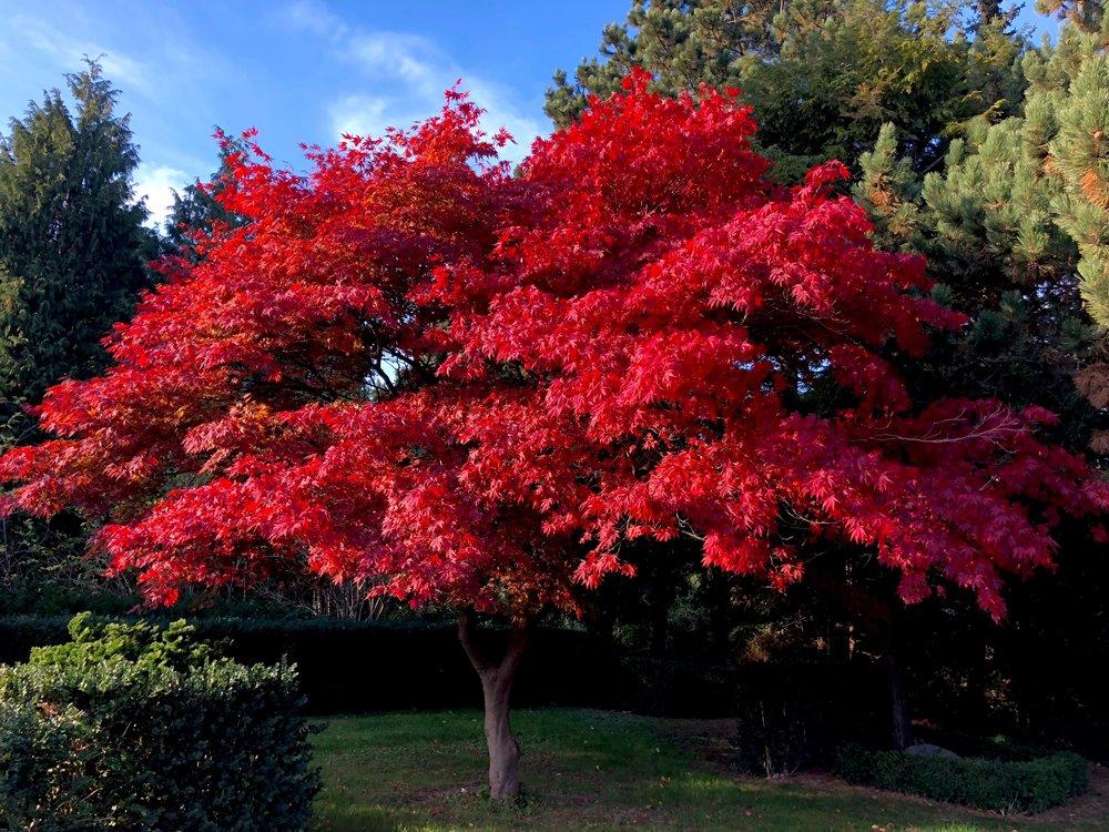 Det var dette træ - en japansk løn - der udløste spørgsmålet om træernes farver.