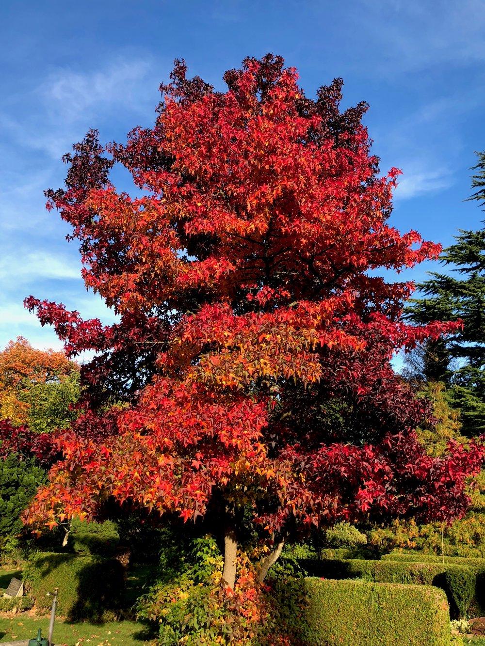 Hvis du nu ikke kan nå kirkegården, så skal du altså have dens flotteste træ at se. Det er et pragteksemplar af et ambratræ, som får min lille starut i haven på 3 meter til at blegne lidt. På engelsk hedder træet 'Sweetgum tree', fordi bladene har en sødlige lidt grannåle-agtig duft, når du knuser dem.