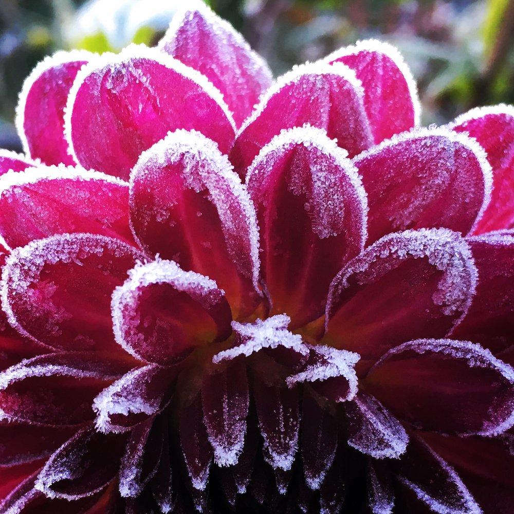 NOVEMBER: Frosten tager livet af mine georginer for i år.