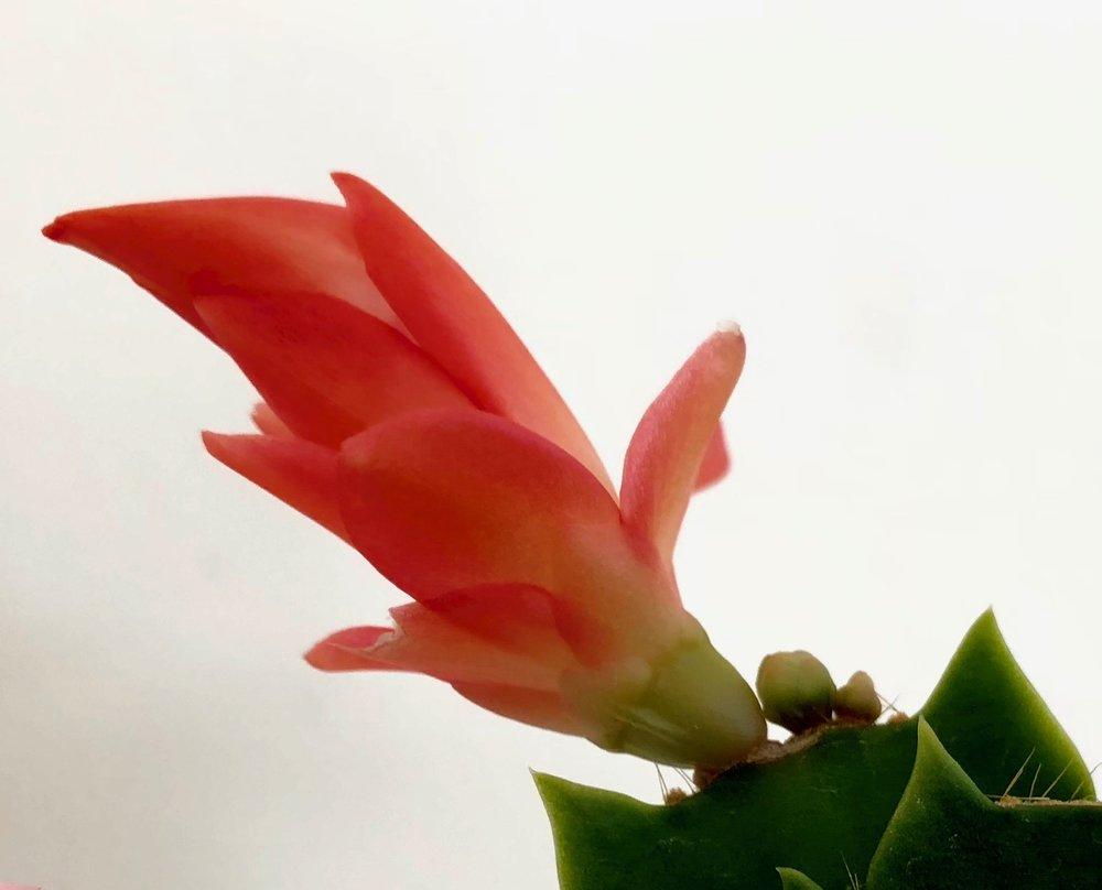 At det er en kaktus, kan man se på areolerne. Det er der, hvor tornene vokser ud på de fleste kaktus. Novemberkaktus har dog ikke torne, men små strithår i areolerne, som knap er synlige. Det er her, blomsterknopperne dannes.