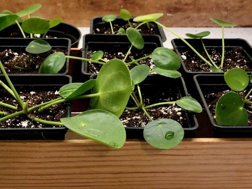Jeg har i anledningen af denne post fx lavet otte nye planter fra min ene for at demonstrere, hvor nemt det er. Ideelt set havde jeg lavet dem om foråret, men min Pilea peperomioides trængte sådan til en ompotning, og de skal nu nok klare sig.