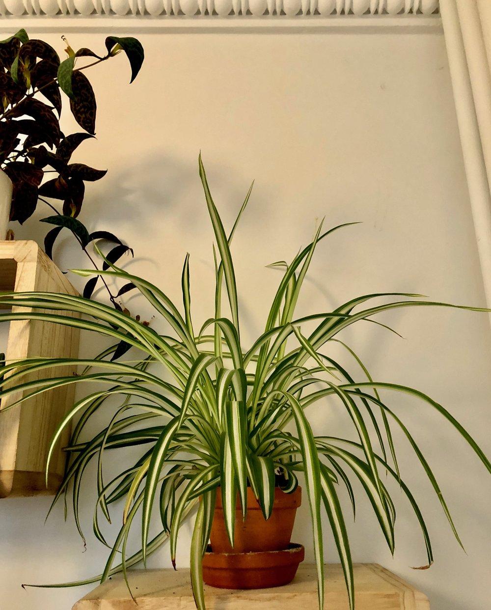 Chlorophytom comosum 'Vittatum'. Chlorophytum betyder grøn farve, men man ser typisk de brogede - enten med hvide striber eller gule. Det er også de sjoveste, synes jeg.