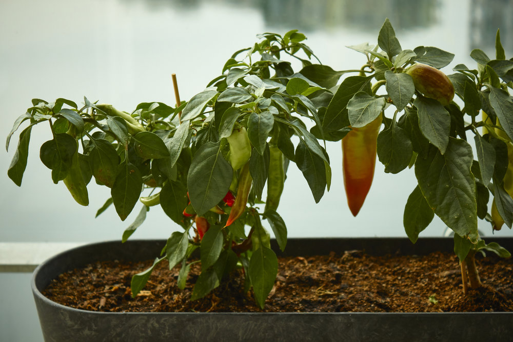 Spicy Homemade Chili Oil - the chilies growing on my balcony   In Carina's Kitchen