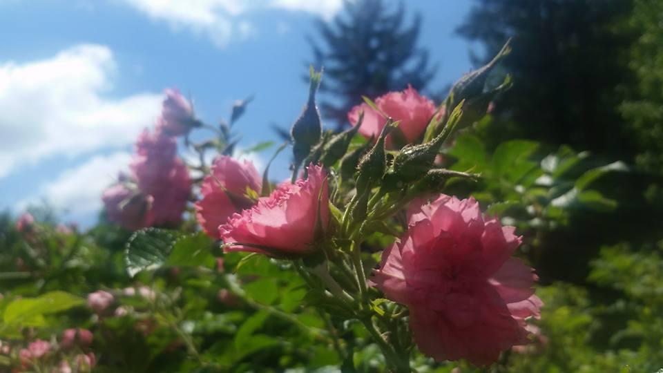 little roses.jpg