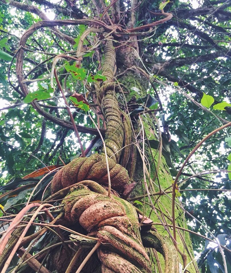 banisteriopsis.jpg