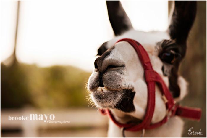 llama_newborn_3