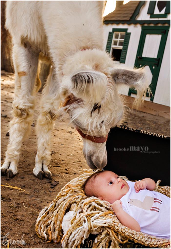 llama_newborn_6