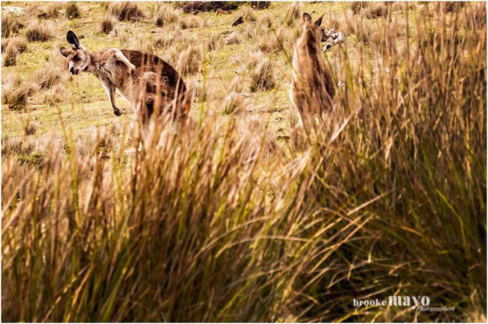 Tasmanian Kangaroo