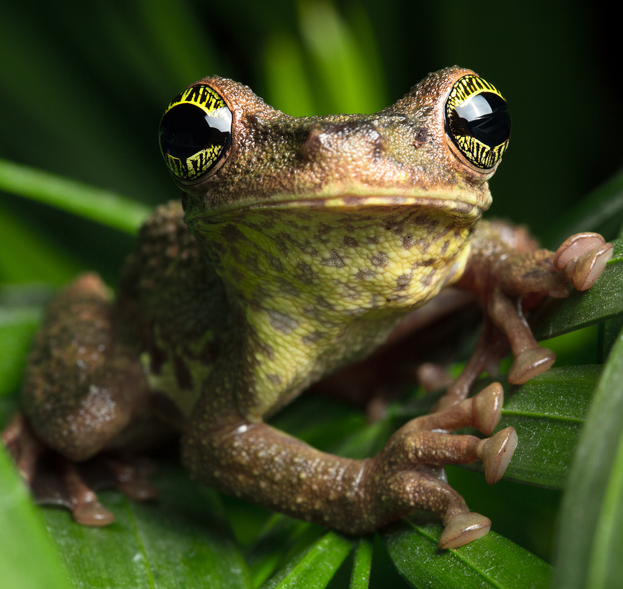 bigstock-Tropical-rainforest-tree-frog--174695728.jpg