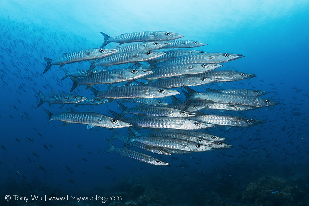 Blackfin Barracuda