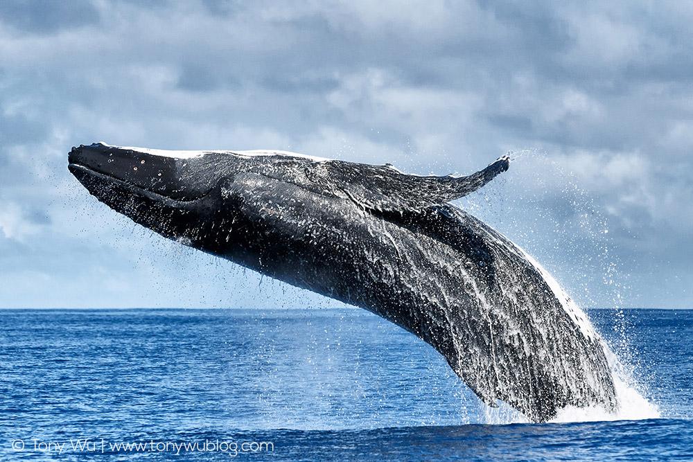 humpback-whale-breaching-tony-wu.jpg