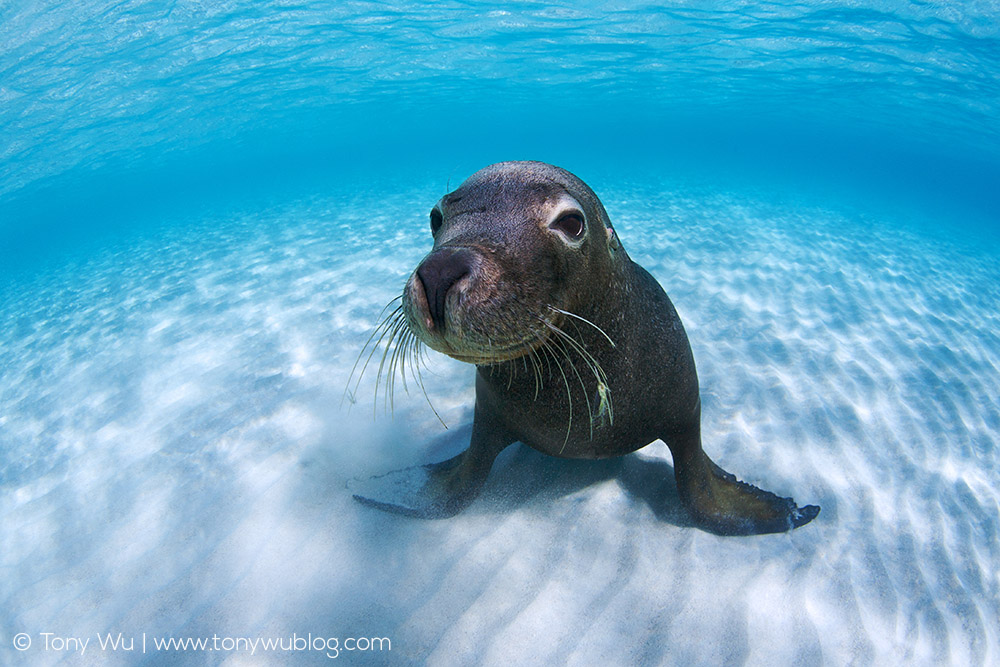 Cute-Australian-sea-lion-white-sand-tony-wu.jpg