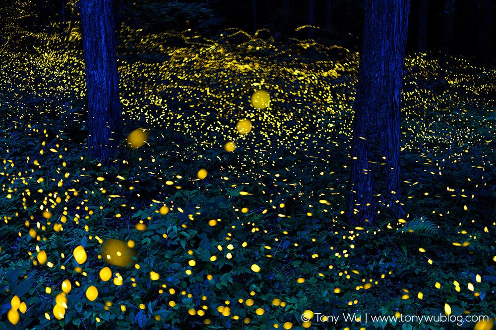 luciola-parvula-himebotaru-fireflies-tony-wu.jpg